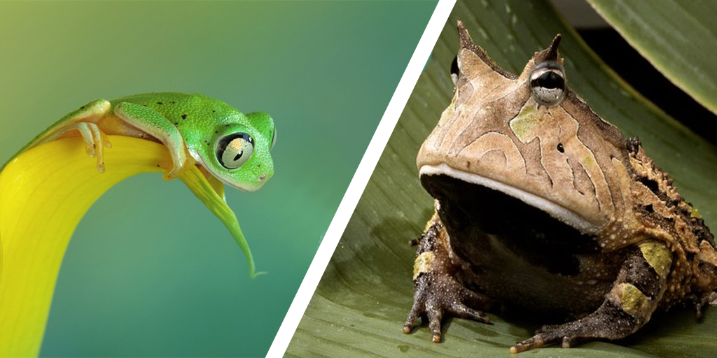 Frog vs Frog