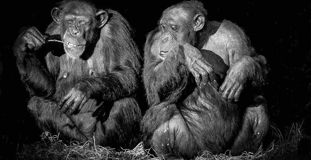 Work anxiety - the anxious chimp