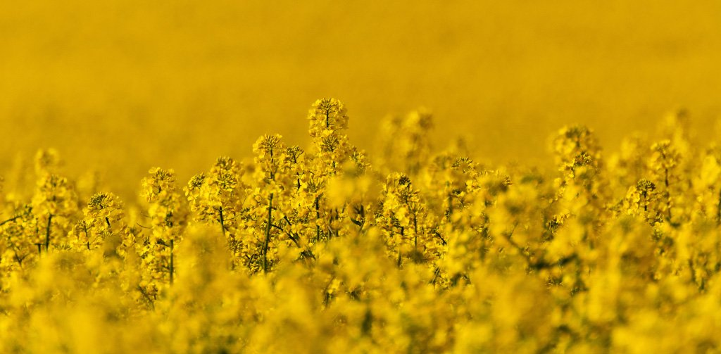 corporate sustainability  - rapeseed field